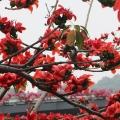 木棉花—英雄树