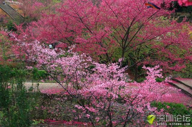 日本 新丰/几乎所有人都知道,樱花是日本的国花。...