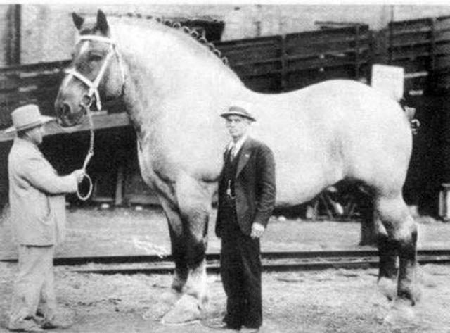 1928年,世界纪录中最大只的马匹。