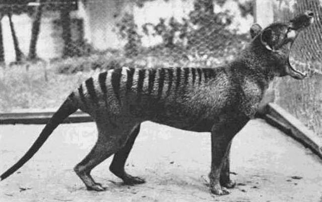 1933年拍摄到的最后一只袋狼照片,现在它们已经绝种了。
