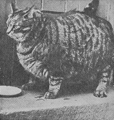 1950年,吉尼斯世界纪录,旧金山最胖的猫克劳斯