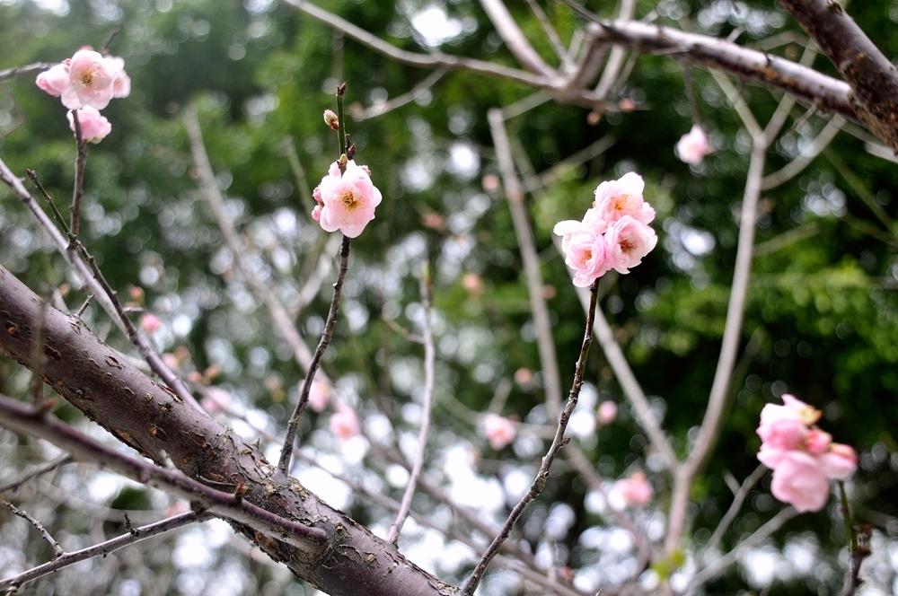 春梅花_443.jpg