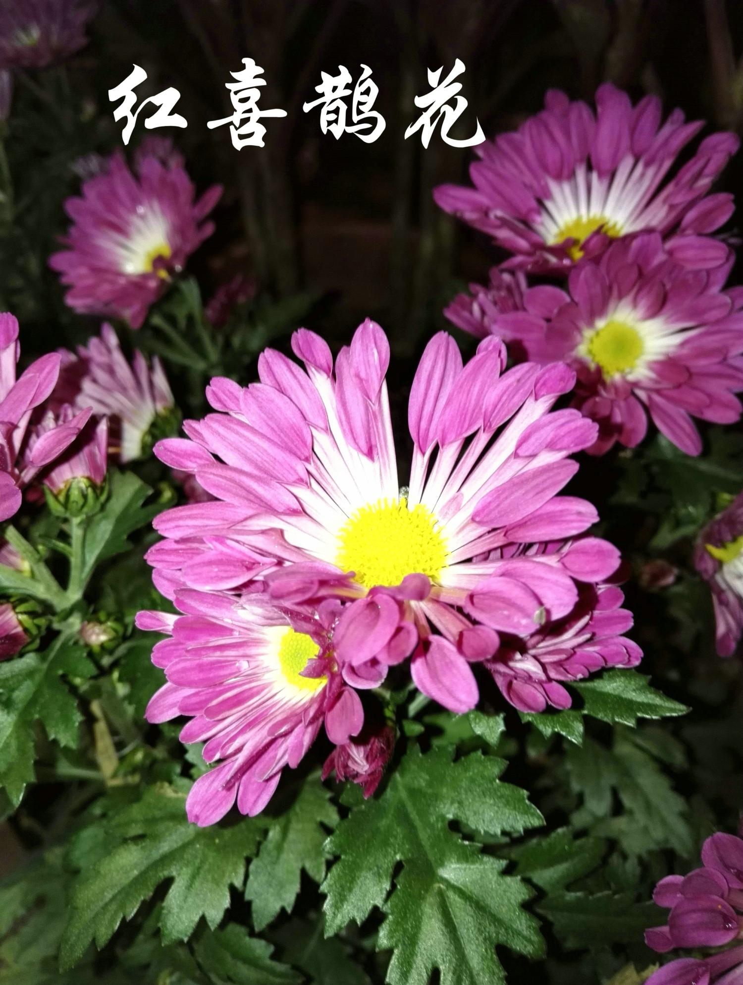 红喜鹊花20160209_832.jpg