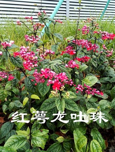 红萼龙吐珠20170128_47.jpg
