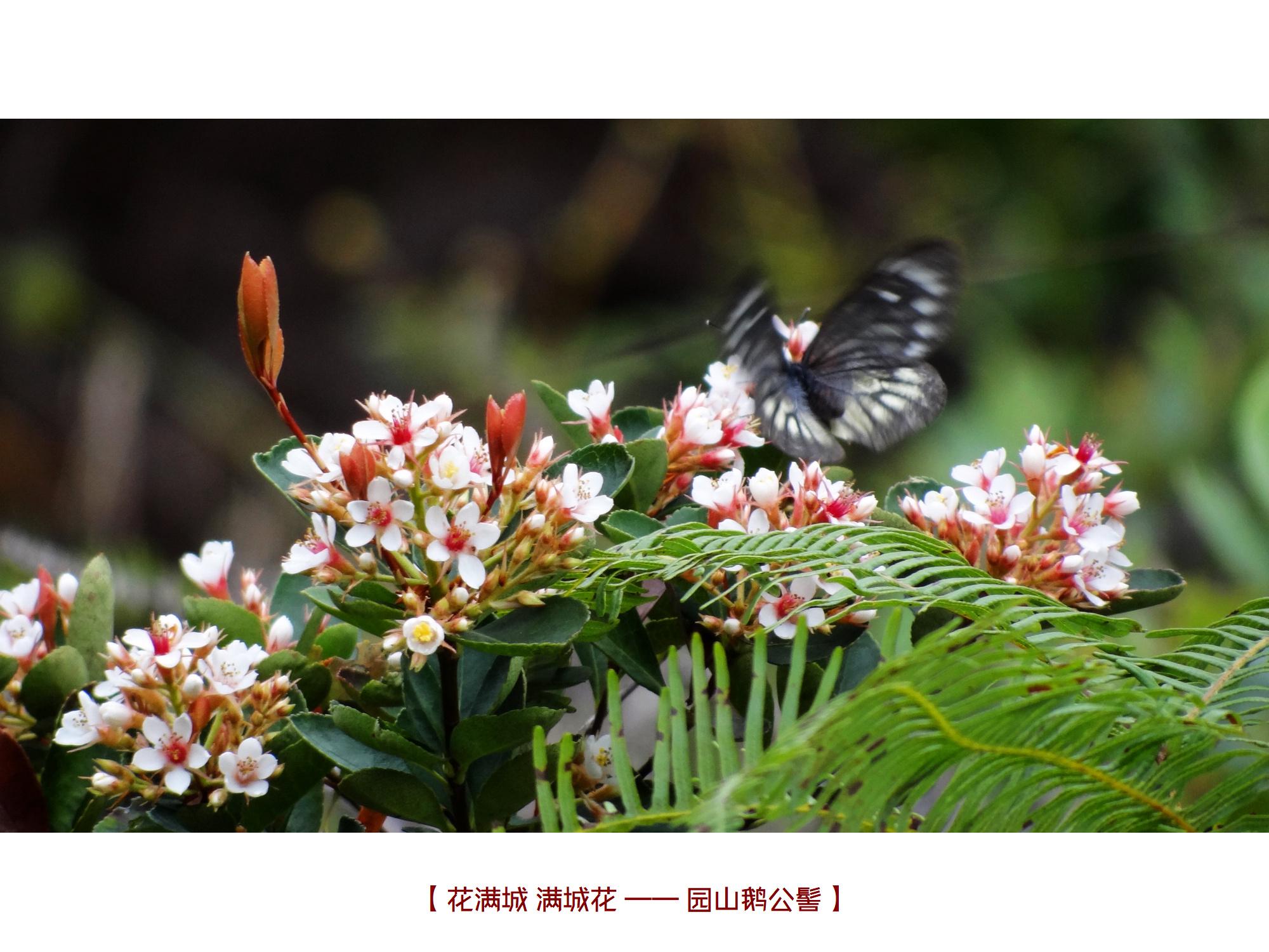 DSC00214 鹅公髻.jpg