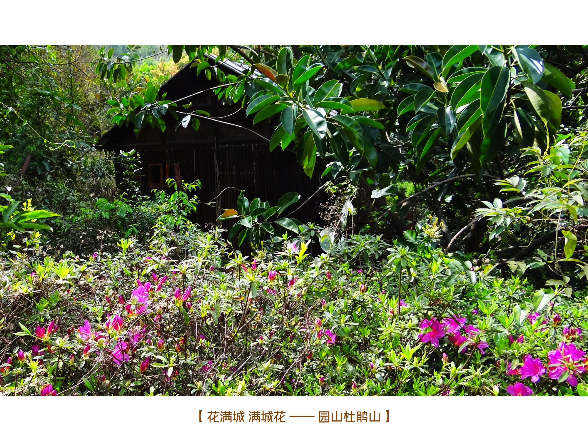 DSC00723 园山杜鹃山.jpg