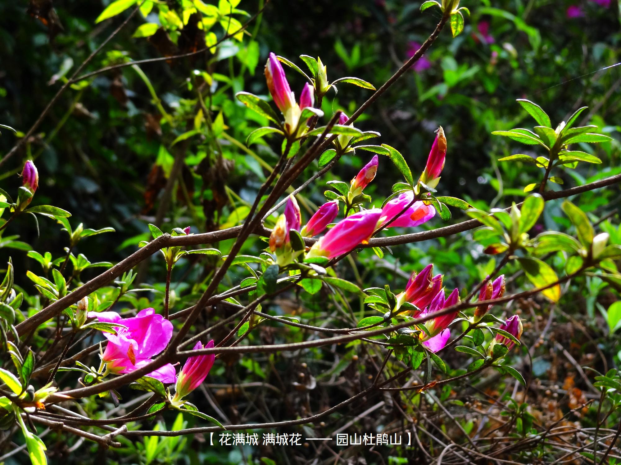 DSC00754 园山杜鹃山.jpg
