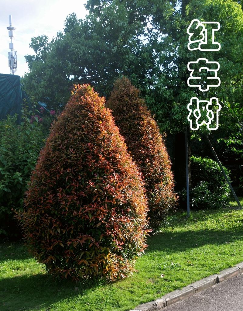 红车树_416.jpg