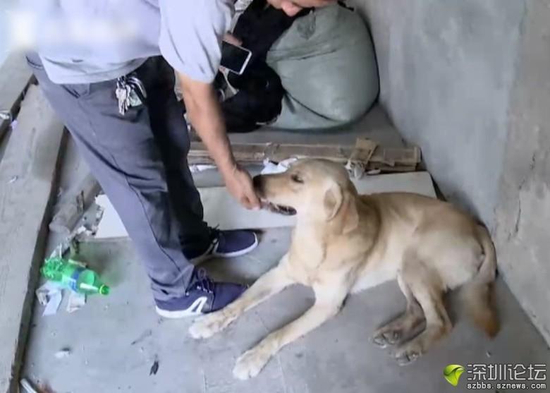 該隻拉布拉多犬樣子十分可愛。