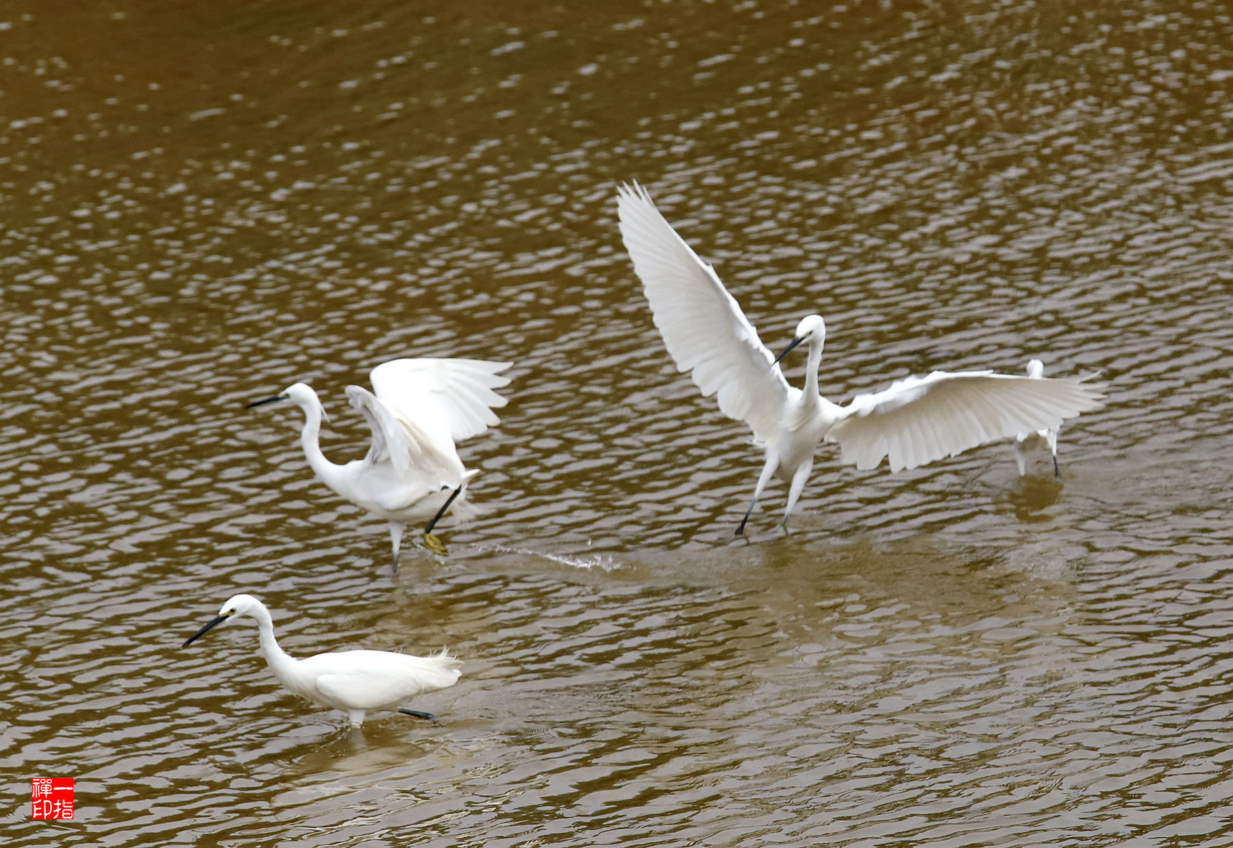 莲花山公园漾日湖上白鹭翩翩起舞