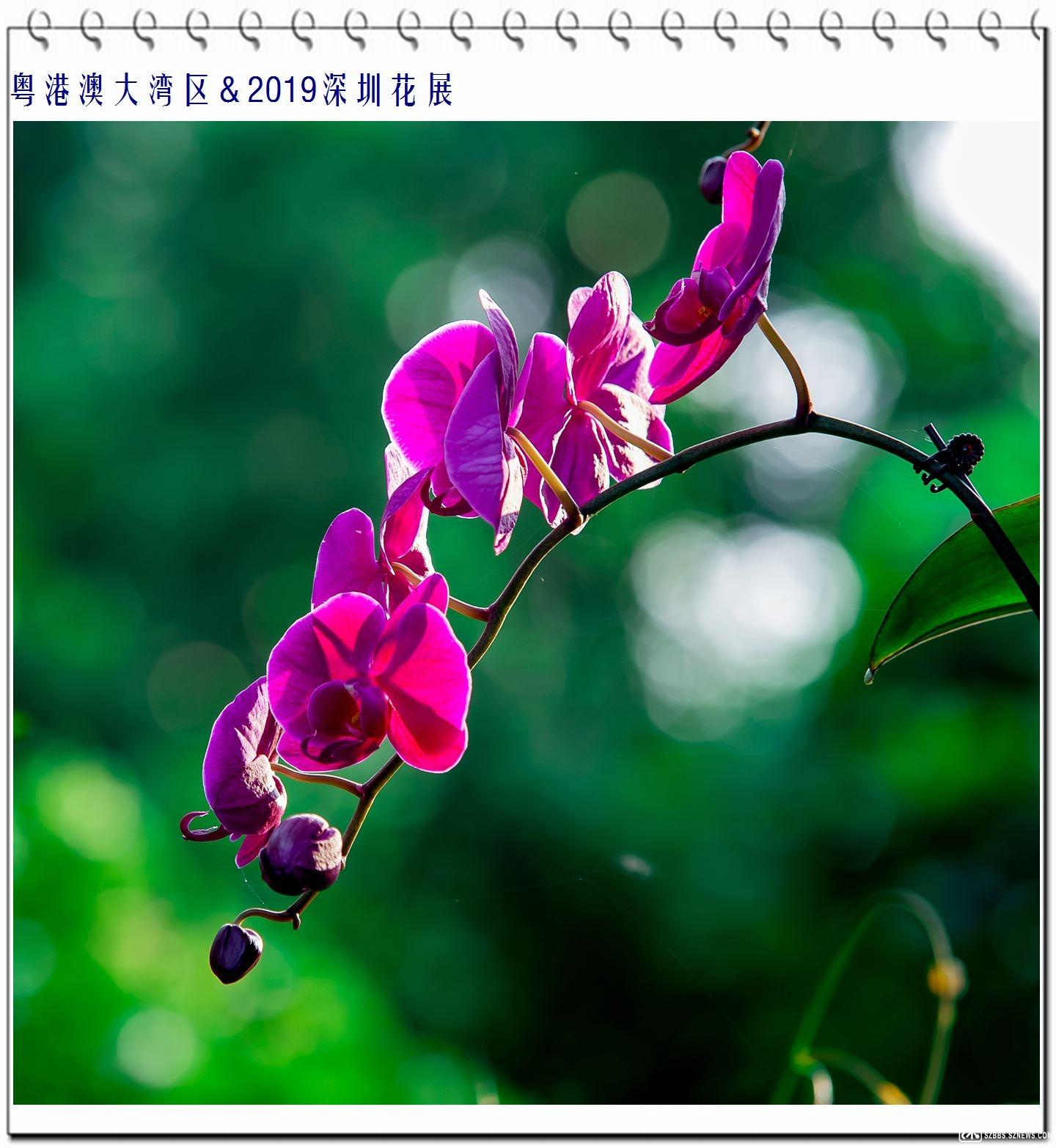 蝴蝶兰 (1).jpg