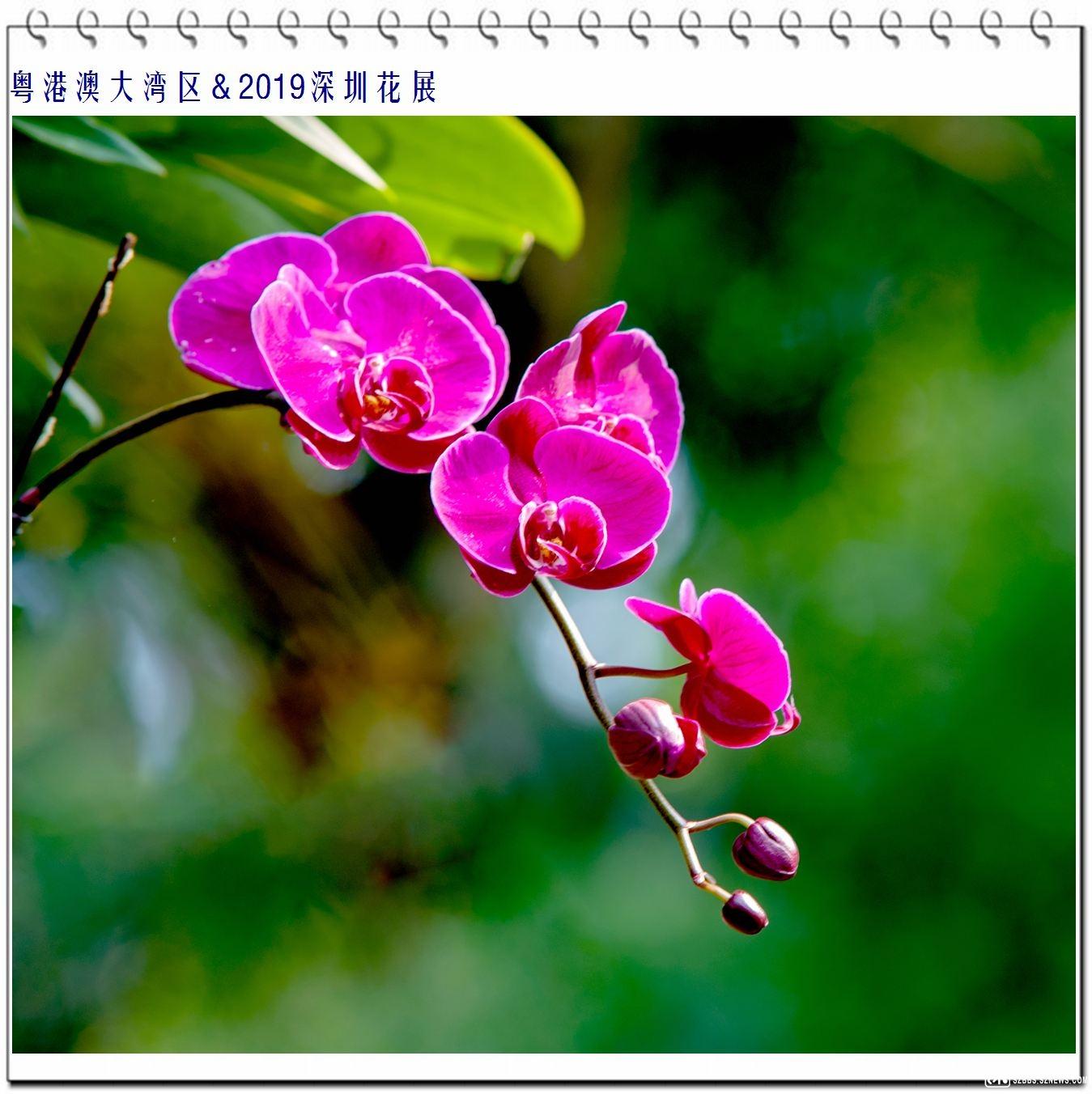 蝴蝶兰 (2).jpg