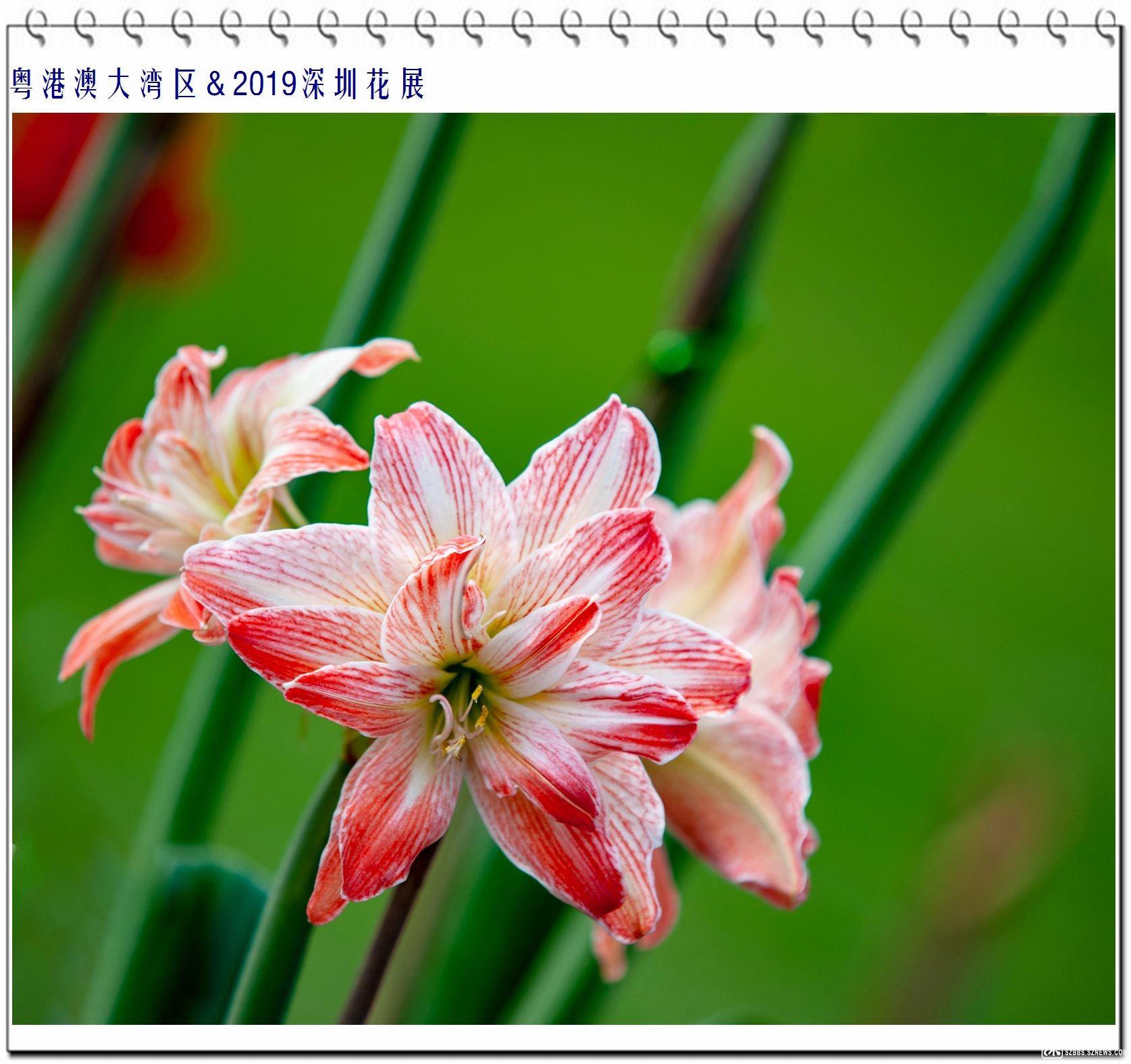 朱顶红 (2).jpg
