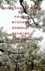 【清明祭】寻春情深深 梨花雨霏霏