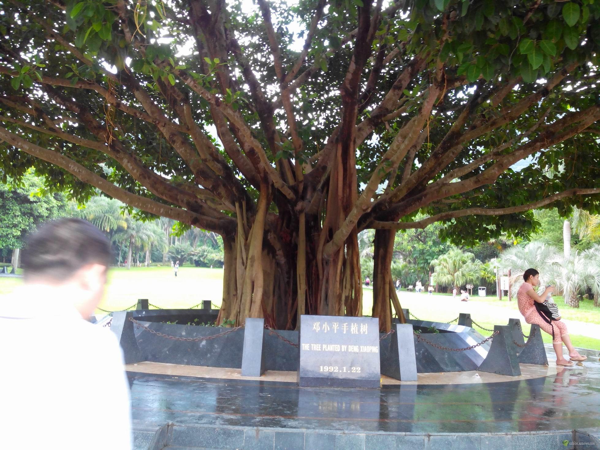 邓小平手植树(21年就长那么大了)