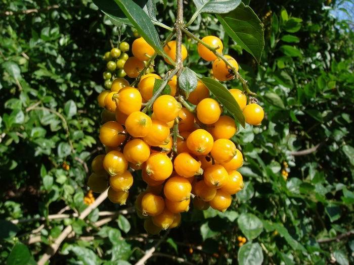 核果,球形,成熟時橙黃色;具有宿存的花萼。