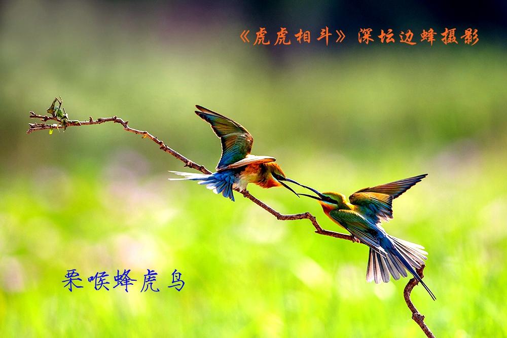 栗喉蜂虎鸟_1.jpg