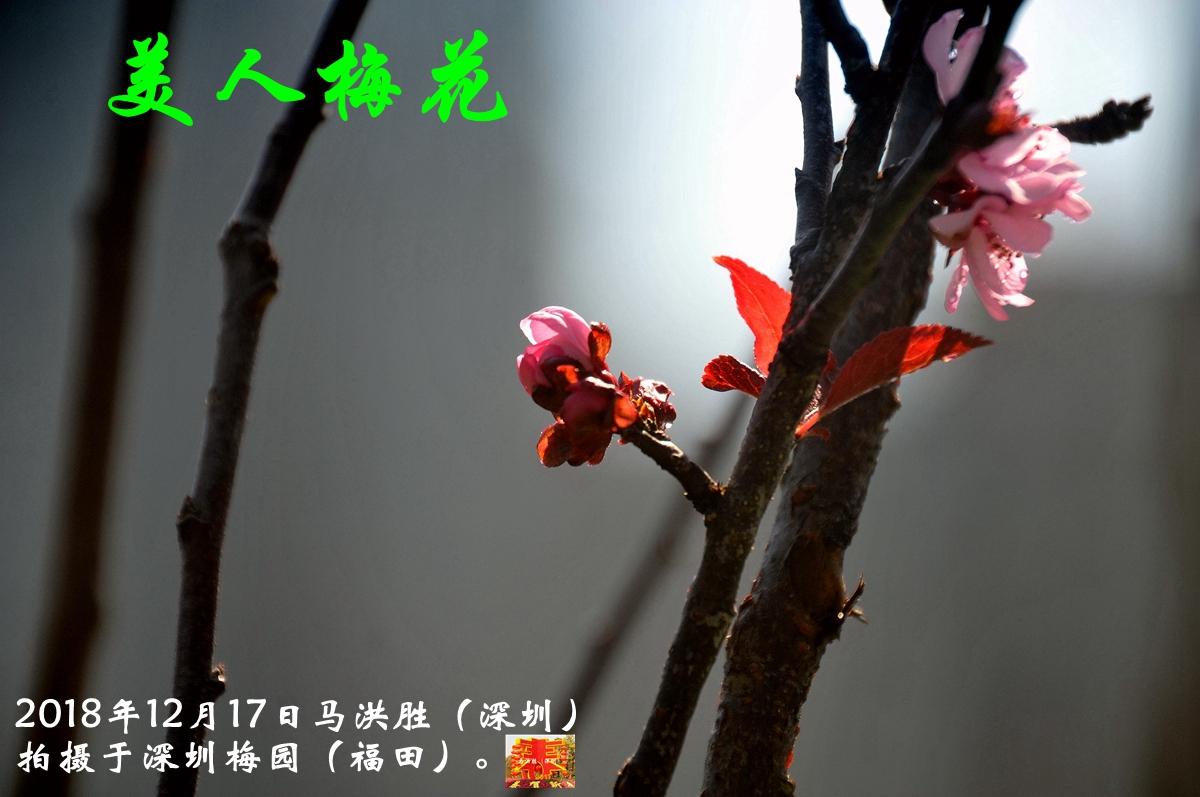 美人梅花_232.jpg