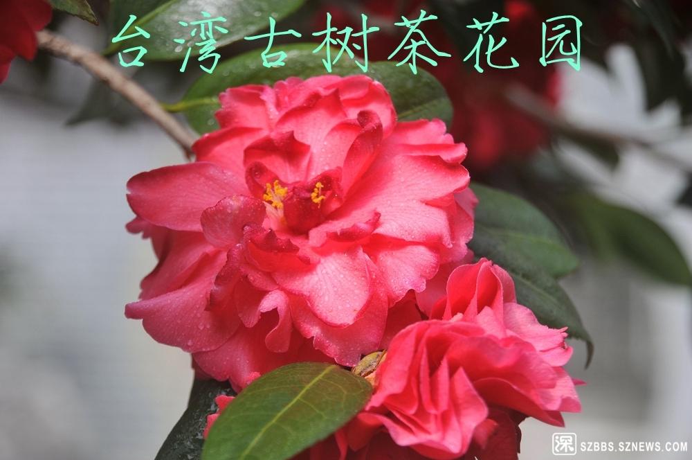 12台湾古树茶花园_910.jpg