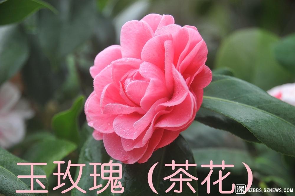 27粤清园玉玫瑰_123.jpg