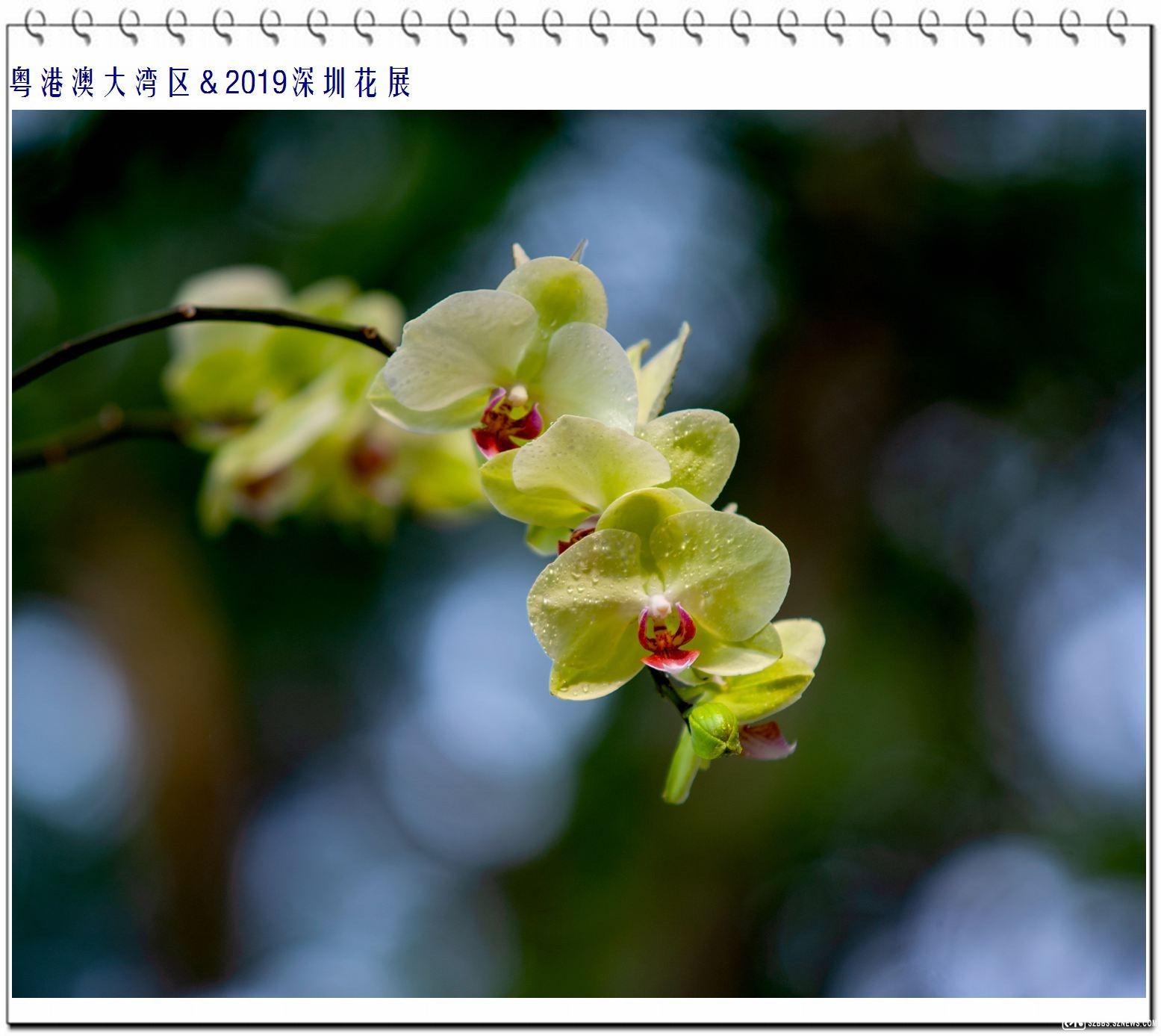 蝴蝶兰 (3).jpg