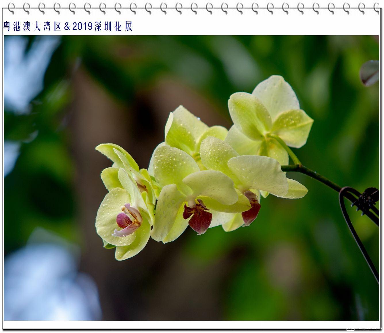 蝴蝶兰 (4).jpg