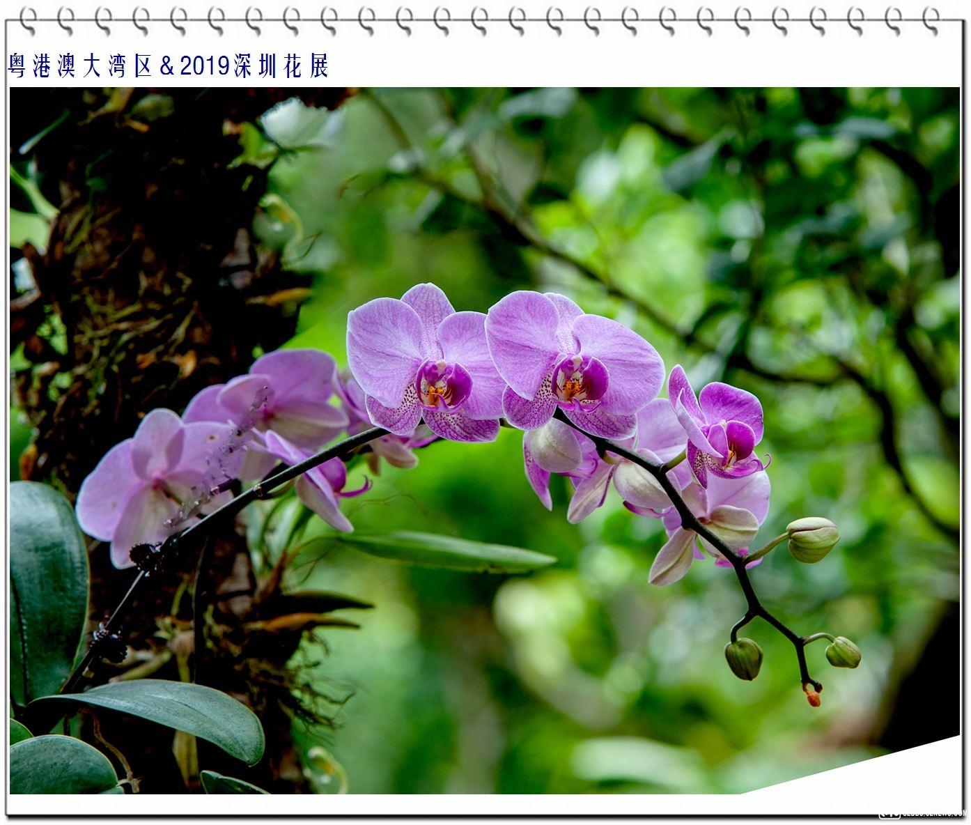 蝴蝶兰 (7).jpg