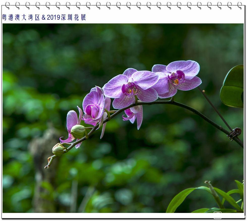 蝴蝶兰 (8).jpg
