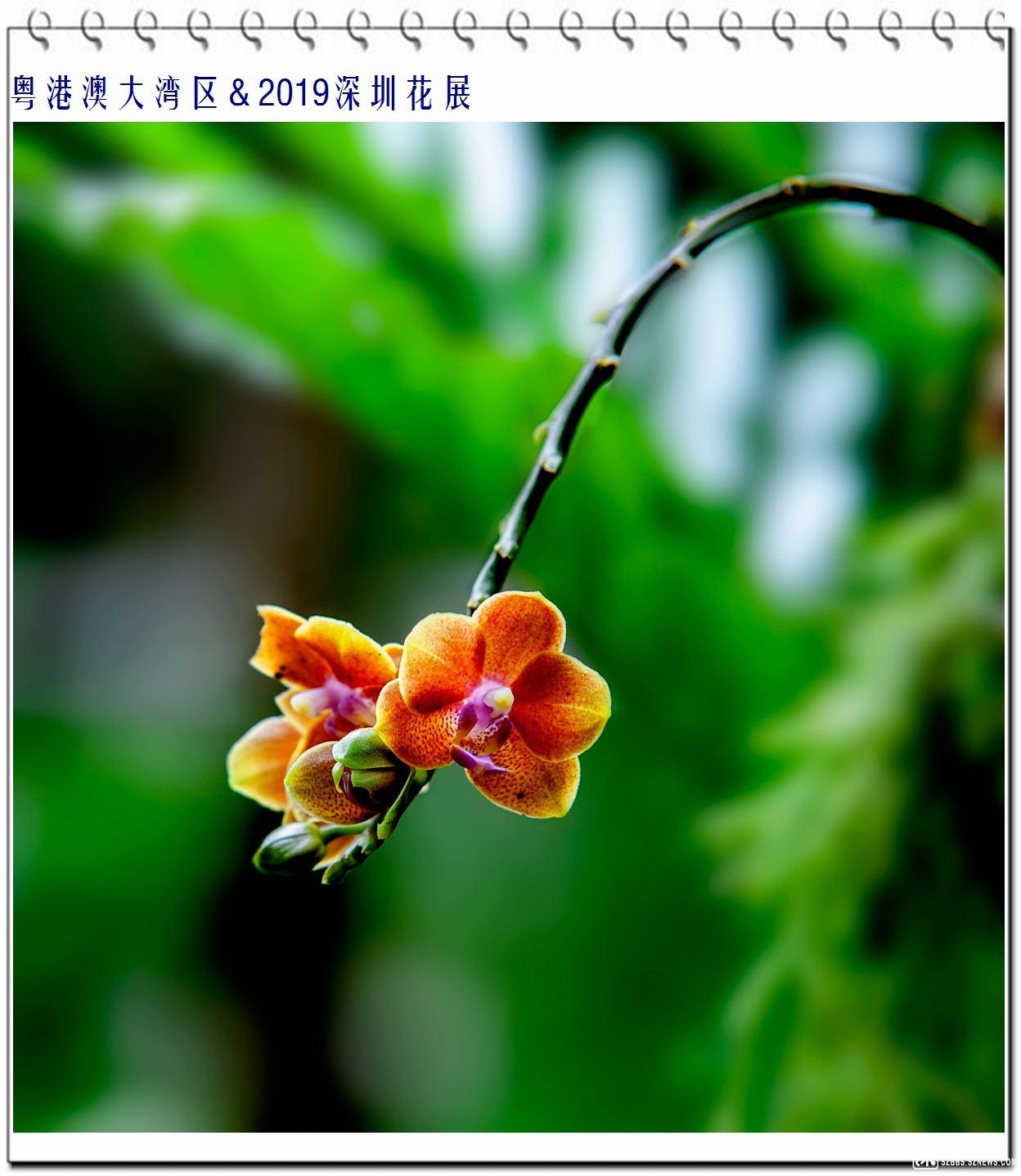 蝴蝶兰(9) (1).jpg