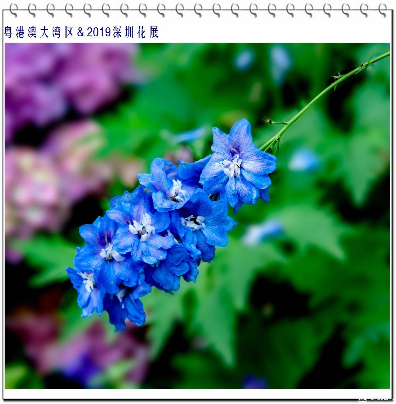 翠雀花 (2).jpg