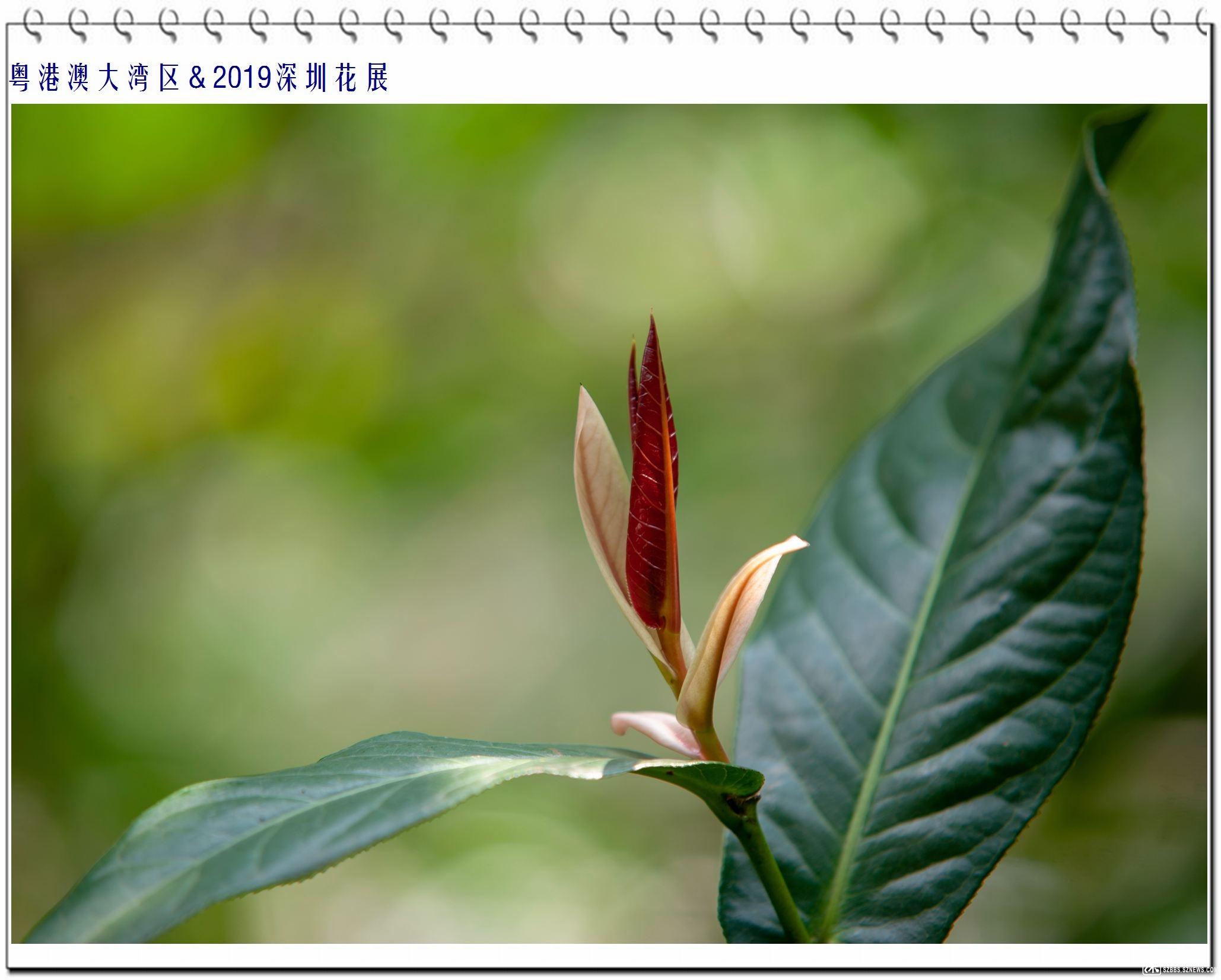 越南抱茎茶.jpg