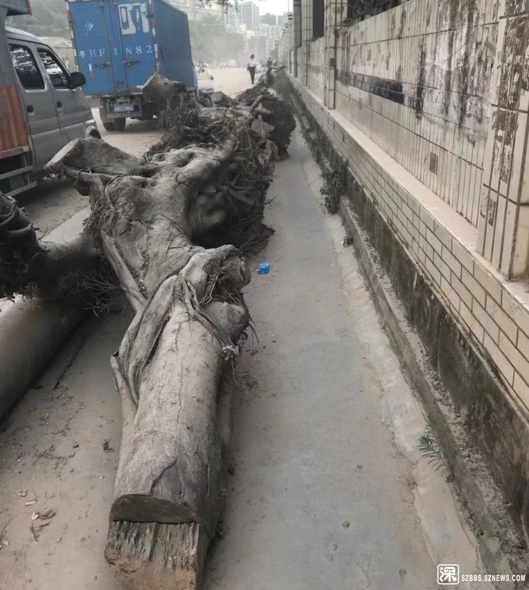 大树倒在人行道