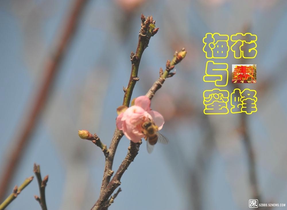 《梅花与蜜蜂》_686.jpg