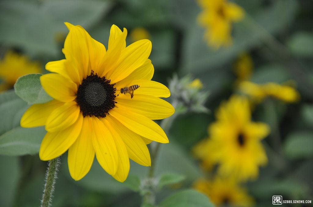 DSC_3741向日葵与蜜蜂.JPG