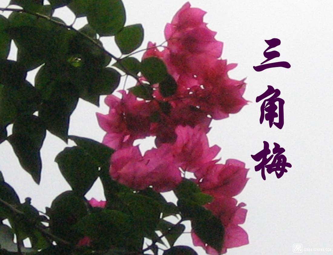 三角梅花艳_113.jpg