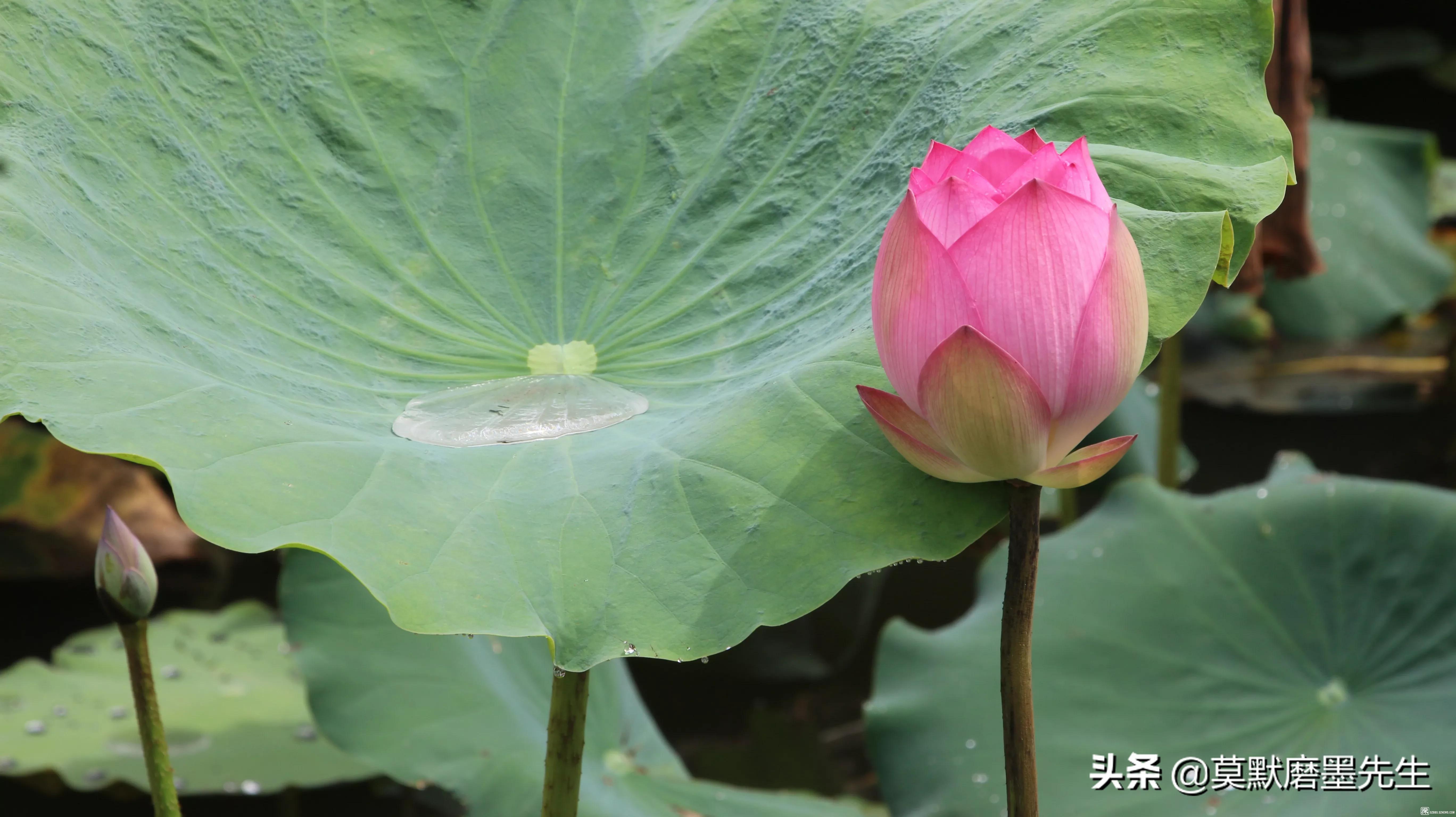 雨中赏荷,洪湖公园,2020.06.13
