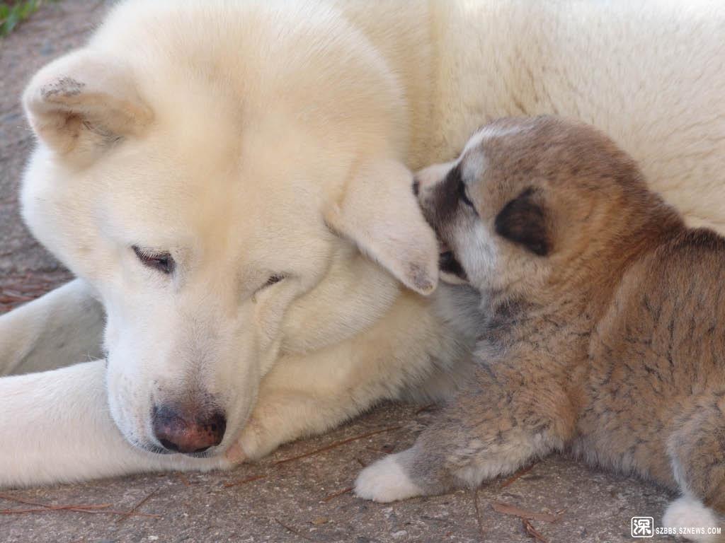 純白色的秋田犬與其幼犬